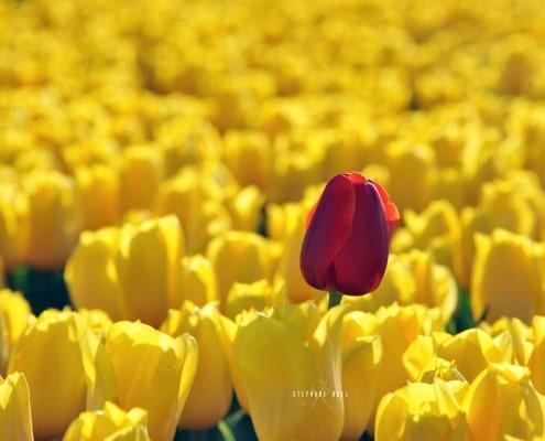 photo-tulipes--photographe-a-avignon-Provence-vaucluse-84000-stephane-ruel-photographe-professionnel-avignon-vaucluse