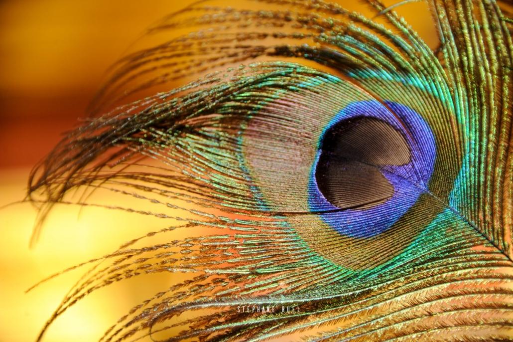 photographe-professionnel vaucluse Provence Photographie-paon--provencale--en-couleur--a-avignon
