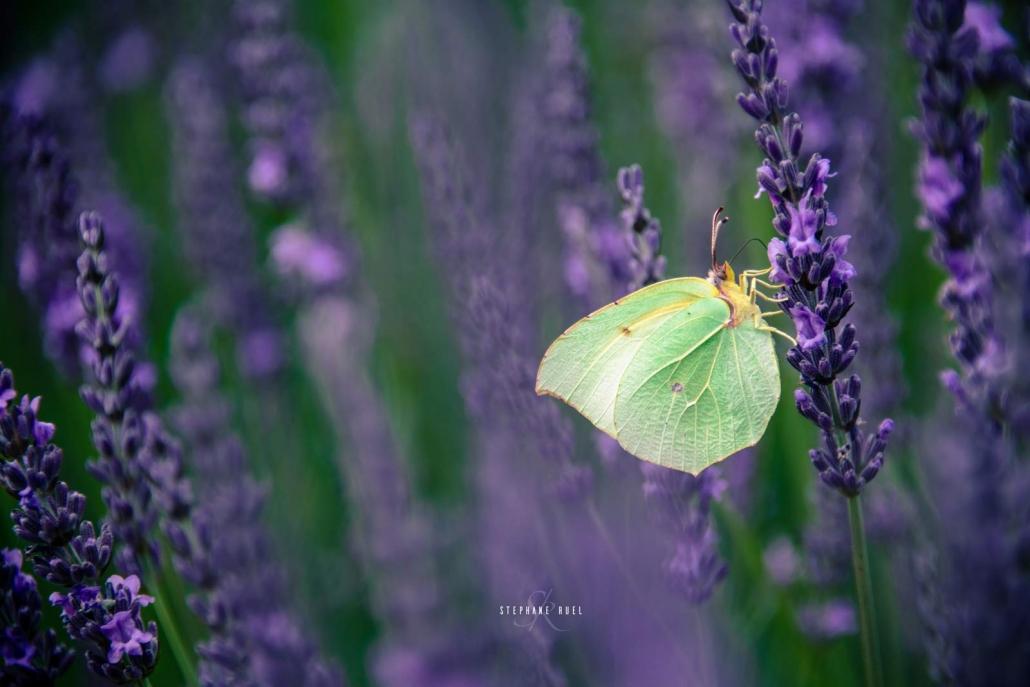 photographe-professionel prise photo-lavande-papillon-valensole-a-avignon-vaucluse-84000-Provence-
